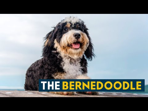 What People Love About The Bernedoodle, A Happy Family Dog!