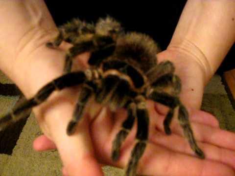 Handling my 8 L. Difficilis Huge Tarantula :D