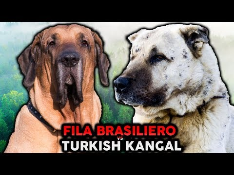 KANGAL VS FILA BRASILEIRO! The Best Guard Dog Breed For First Time Owners!