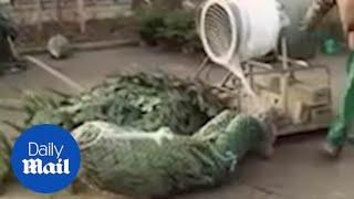 Man DIVES through Christmas tree netting machine!!!
