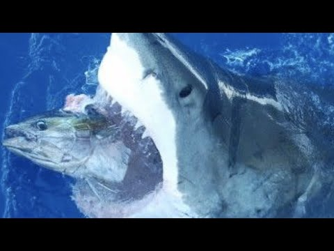 GREAT WHITE SHARKS KEPT EATING OUR BIG TUNA!!!!