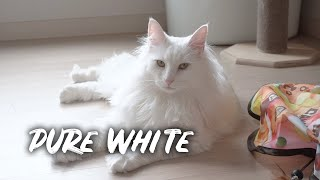 All about the Norwegian Forest Cat Hati