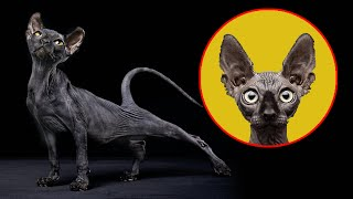 Devon Rex  'The Cat Dog Monkey' English Cat Breed  Pixie Cat