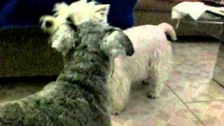 Mini Schnauzer And Westie