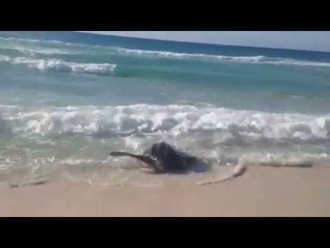 Leatherback Sea Turtle struggles in the surf in Pensacola Beach - courtesy Dianne Masterson
