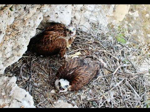 Five minutes documentary about Long-legged buzzard Nest -  Cyprus - by George Konstantinou