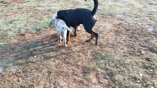 Thor the Rottweiler playing with his friends Markus and Thorin 😘😘