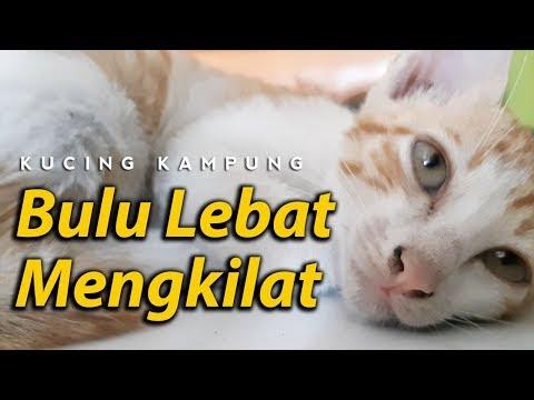 Cara Merawat Kucing Kampung Agar Bulunya Lebat Cepat Gemuk Youtube