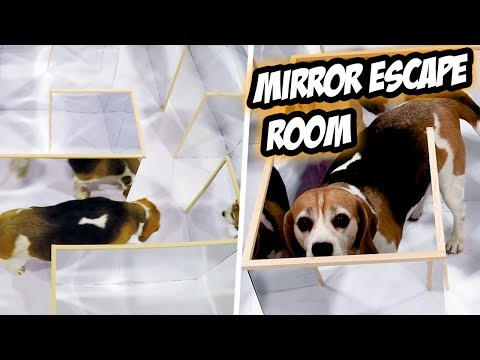 Hardest ESCAPE ROOM for a DOG – Tricky MIRROR MAZE