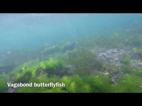Vagabond Butterflyfish