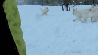ホワイトスイスシェパード4頭の追いかけっこ。ヴァルター、必死で逃げ...