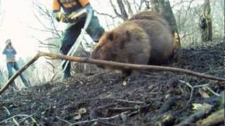 Beaver Attack - Beavers in the City, Part 3 - Exciting Beaver Action - by Suburban Wildlife Control