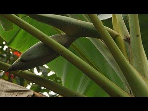New Bananas in Andamans