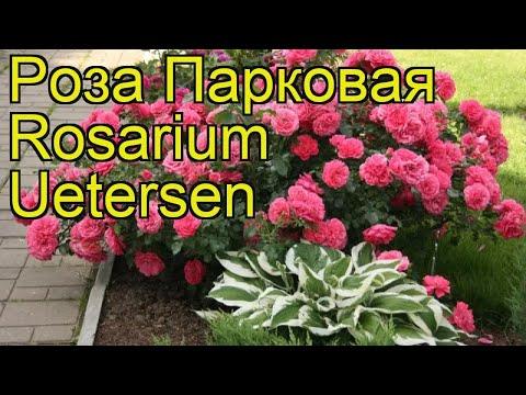 Роза парковая (Rosarium Uetersen). Краткий обзор, описание характеристик, где купить саженцы