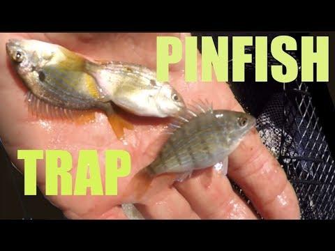 Catching Pinfish With A Baitfish Trap And Sabiki Rig