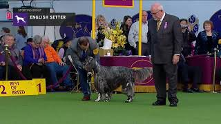 Setters (English) | Breed Judging 2019