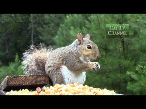 CAT TV (Television for Cats) - Squirrel Eating Corn