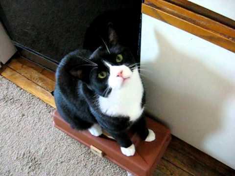 Charlie the 18 lb. tuxedo cat demanding food