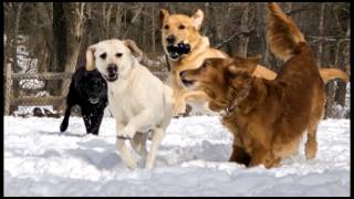 Service Dogs Romp In The Snow At Warrior Canine Connection