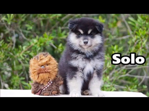 Welcome home Solo - Finnish Lapphund - 8 weeks
