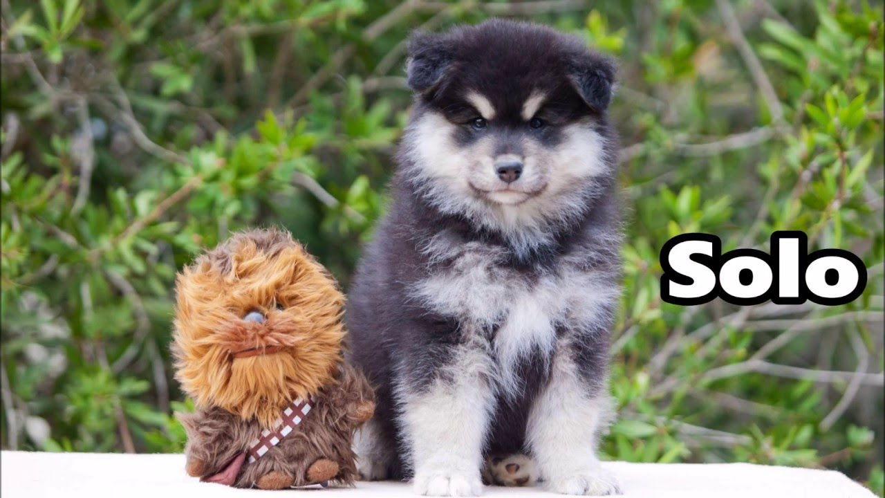 Welcome home Solo - Finnish Lapphund - 8 weeks - YouTube