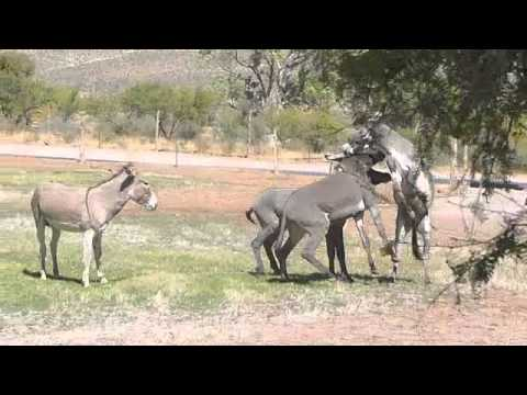 Spring Mountain Ranch State Park Donkey Fight