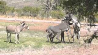 Repeat youtube video Spring Mountain Ranch State Park Donkey Fight