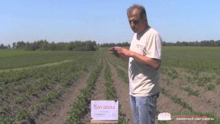 Сорт картофеля Саванна (Голландия)(Сорта картофеля (фото/видео): http://ovochevii-dim.com.ua/sorty-kartofelya.html Сорт картофеля Саванна (Голландия) http://ovochevii-dim.com.ua/..., 2015-06-18T11:43:55.000Z)