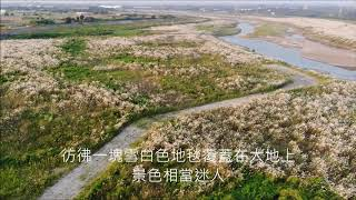 2019曾文溪大內橋甜根子草影片