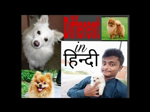 Different Between Pomeranian/Spitz n Culture pom {Deva Chauhan}