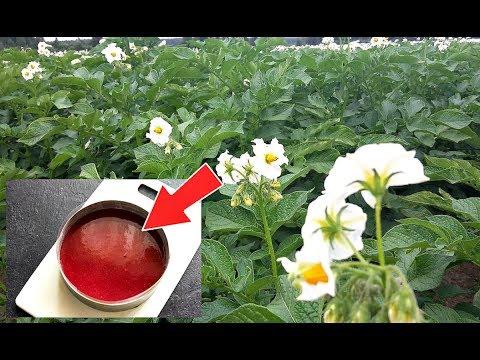 Подкормите этим картошку в период цветения для огромных плодов! Чем подкормить картошку?