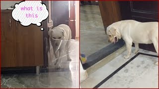 My Dog Nails The INVISIBLE WALL CHALLENGE Like A Boss. Smart Labrador.