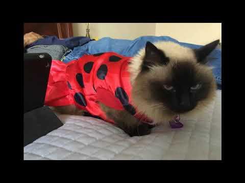 Himalayan Cat Picture Slideshow