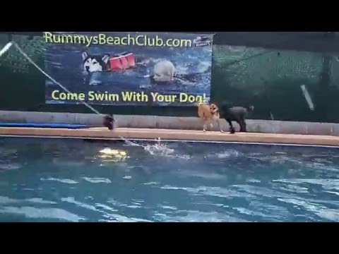 Golden Retriever Chow Chow mixed breed dog Walter Chihuahua Socks Toy Poodle Minnie play at pool