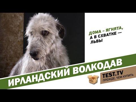 TEST.TV: Ирландский волкодав огромный и добрый.