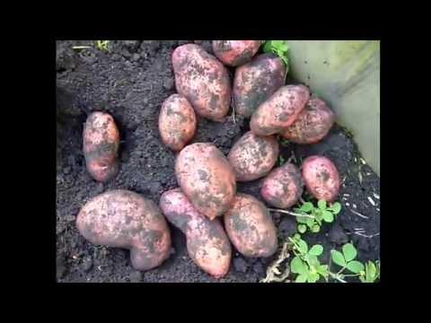 Обзор. сорт картофеля Розара, Ред Скарлет, Беллароза, Аврора. отзыв . Копка картофеля