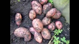 Обзор. сорт картофеля Розара, Ред Скарлет, Беллароза, Аврора. отзыв . Копка картофеля(, 2016-10-16T12:27:19.000Z)