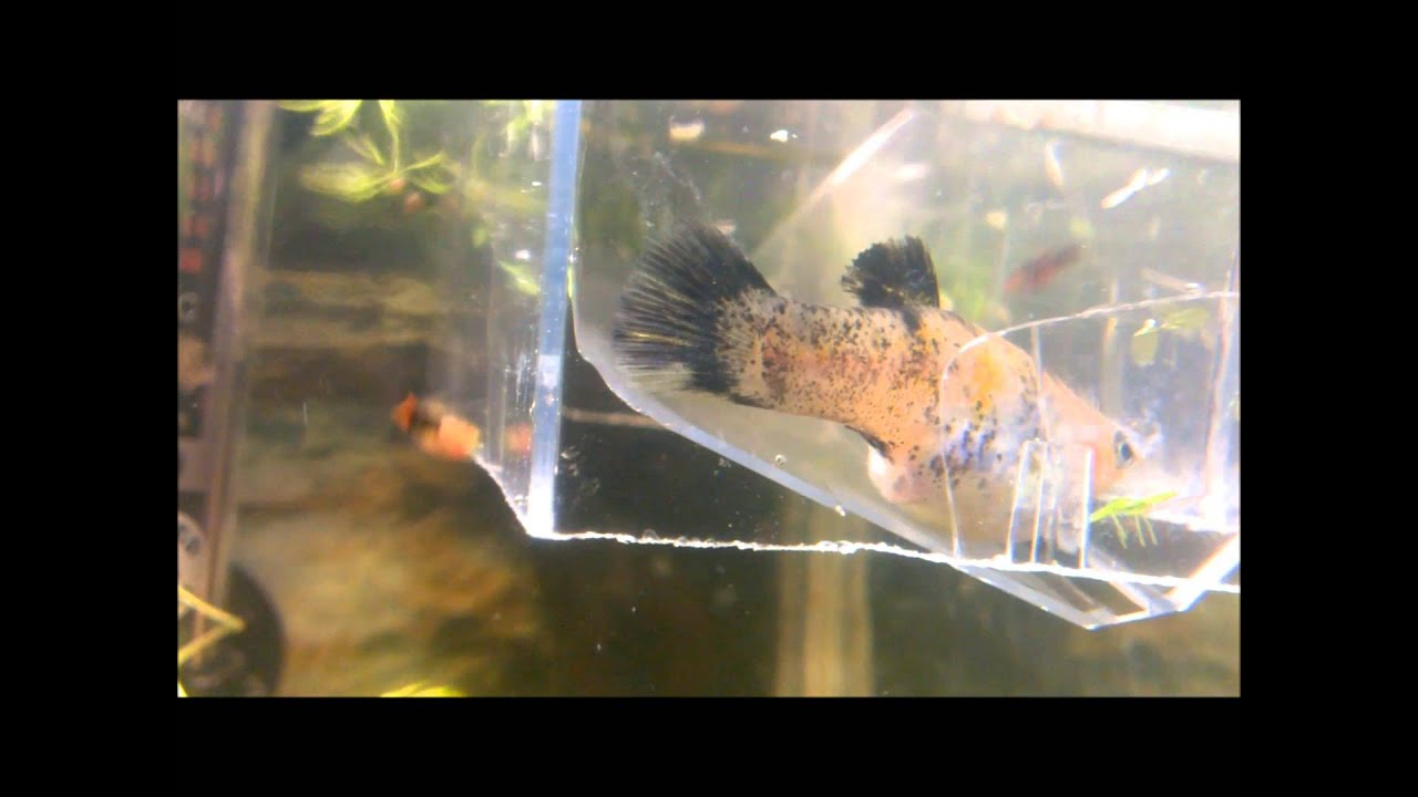 Molly fish giving birth youtube for Molly fish babies