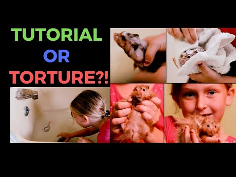 How NOT to give a hamster a bath - Small pet education video with Barley Gig!