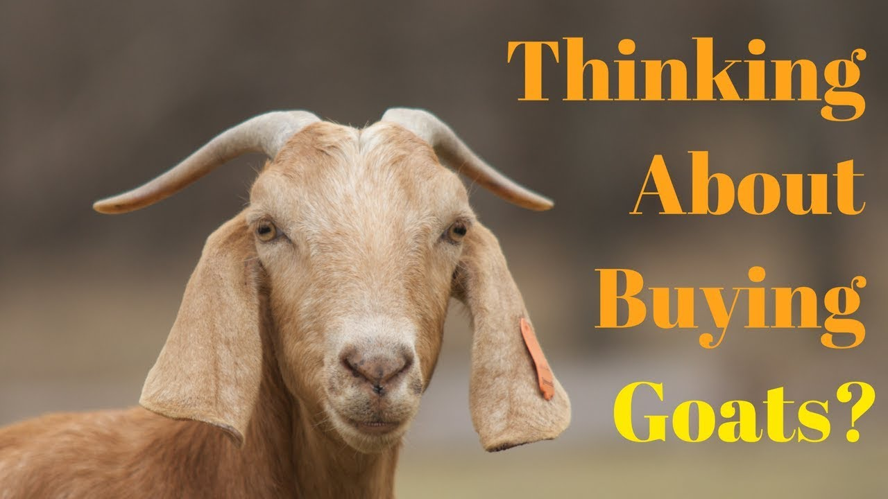 info for 496fe 13bba Things You Need To Know BEFORE Getting Goats