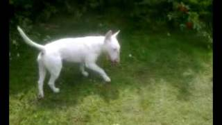 My Bull Terrier Playing Fetch