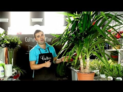 El jardinero en casa la yucca funnydog tv for Jardinero en casa