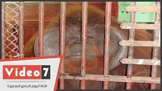 مدير حديقة الحيوانات: تشريح إنسان الغاب للتحقق من أسباب الوفاة