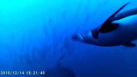 Myssypingviini sukeltaa Antarktiksen vesillä