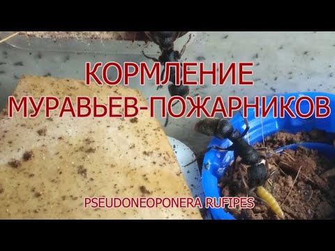 Кормление муравьёв пожарников pseudoneoponera rufipes жуком знахарем ulomoides dermestoides