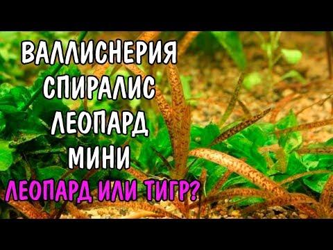 ВАЛЛИСНЕРИЯ ЛЕОПАРД МИНИ ( VALLISNERIA SPIRALIS LEOPARD MINI )