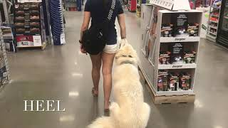 2 Year Old Great Pyrenees | Best Great Pyrenees Training Oklahoma | Board & Train