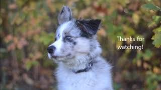 Cel mai deștept câine - collie de frontieră - Tratament June