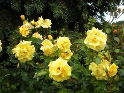 Gilbert Becaud Überall blühen Rosen