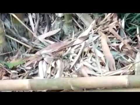 Senenge Mancing